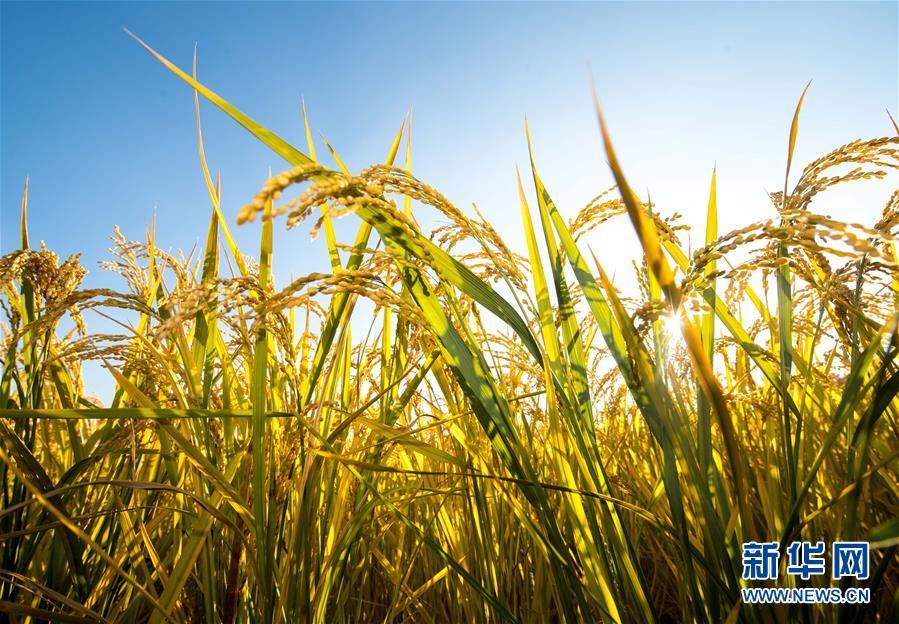 這是在吉林省吉林市萬昌鎮張楠楠的家庭農場拍攝的水稻(9月18日攝)。 新華社記者 許暢 攝