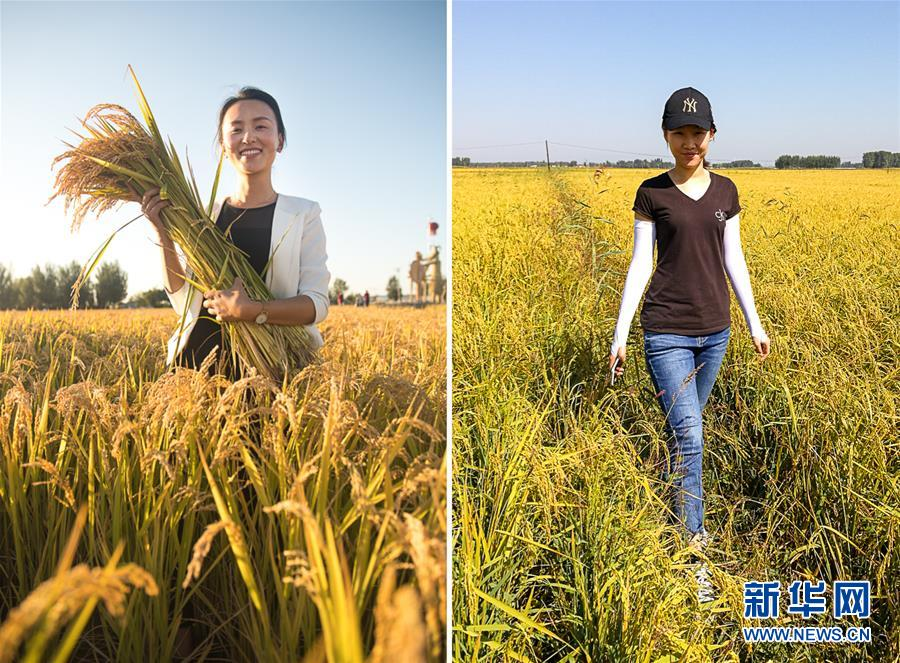 """這是一張拼版照片。左圖:蔡雪手捧著剛收割的水稻(9月19日攝);右圖:張楠楠行走在稻田間(9月18日攝)。4年前穿梭在上海寫字樓里、操著流利英語""""談笑有鴻儒""""的蔡雪沒想到,27歲的自己會在家鄉吉林省舒蘭市的田埂旁察看水稻長勢、計算收購價格,盤算著如何把最好的大米賣到遠方。她的""""領地"""",是耕種著187公頃優質水稻的農豐水稻專業合作社。距舒蘭市約100公里的永吉縣,28歲的張楠楠經歷相似:當初在長春做咖啡師的她也沒想到,自己會開著越野車在田地里穿梭,還會成為村里唯一一名既能飛又能教植保無人機的""""飛行教練""""。她的""""領空"""",是自家農場的285公頃稻田。同屬""""90后""""的蔡雪和張楠楠都自稱""""新農人"""",不約而同從都市返回了廣闊的鄉村。金秋時節的東北黑土地上,兩位90后姑娘,在稻香里訴說青春。新華社記者 許暢 攝"""